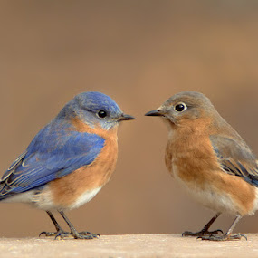 Bluebird Pair by Jack Nevitt - Animals Birds ( bluebird, pair, couple )