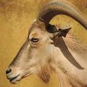 Aoudad/Barbary Sheep