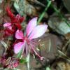 Butterfly Gaura
