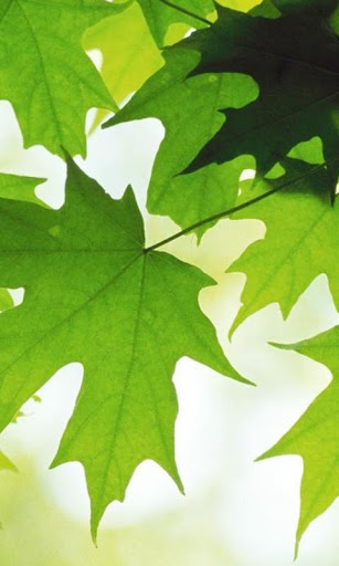 Leaves Wallpapers