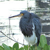 Tri.colored Heron