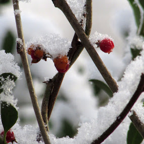 Berry Freeze by Anne Santostefano - Nature Up Close Trees & Bushes ( winter, nature, freeze,  )