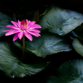 Pink Lotus by Bernice Then - Flowers Flowers in the Wild ( lotus, lily, pink lotus, pink lily,  )