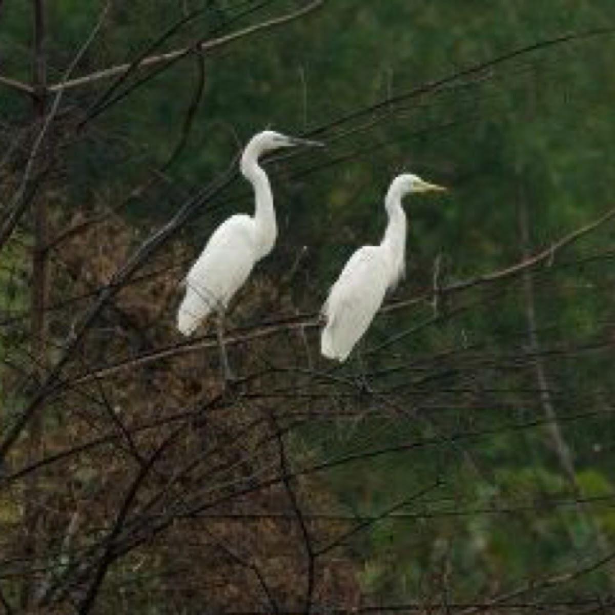 Intermediate Egret(Plumed Egret)