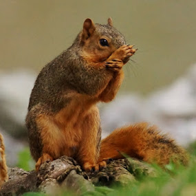 Squirrel by Ann Overhulse - Animals Other