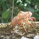 Cicade skin