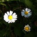 Gänseblümchen / daisy