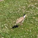 Masked plover