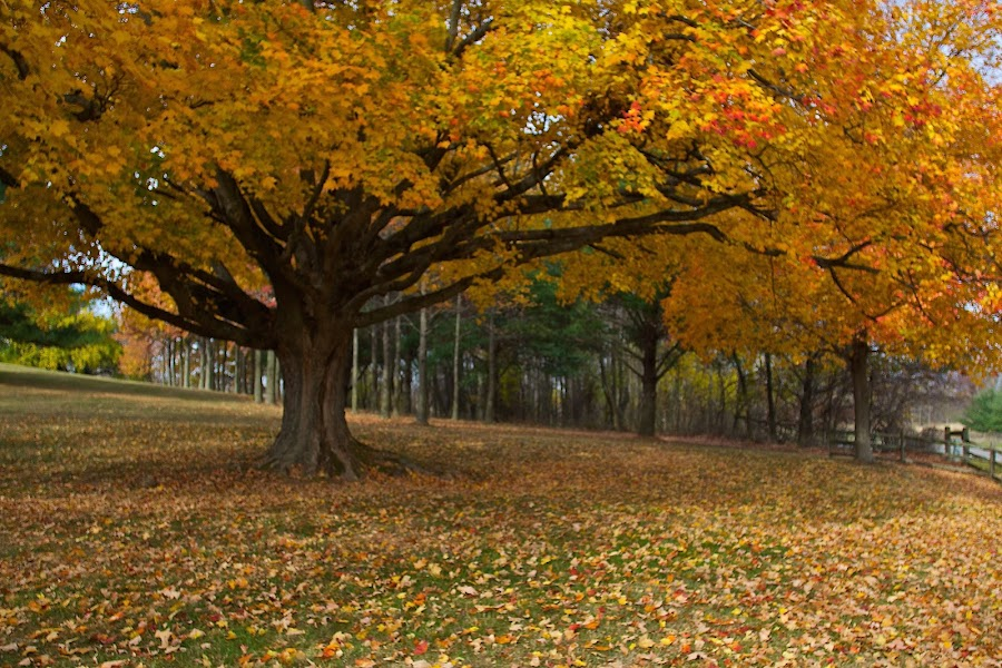 Autumn tree by Dan Ferrin - Nature Up Close Trees & Bushes ( fall leaves on ground, fall leaves, nature, tree, autumn, trees, nature close up, landscape )
