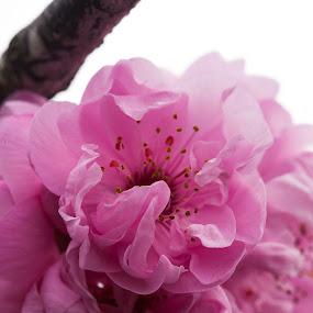 Cherry Blossom by Judy Wright Lott - Flowers Tree Blossoms ( washington, cherry tree blossum, macro, bellingham, nature, flowers )