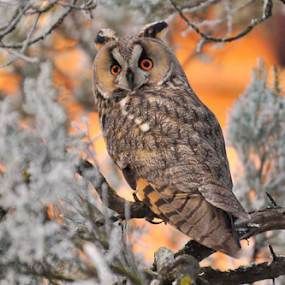 Long eared owl by Ion Alexandra - Animals Birds ( winter, long eared owl, Backyard, insects, reptiles, living creatures, green, colors, daily life,  )