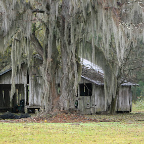 Rustic Cajun Barn with Moss by Ron Olivier - Buildings & Architecture Decaying & Abandoned ( rustic cajun barn with moss )