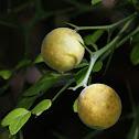 Trifoliate orange