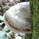 Hoof fungus,Tinder fungus