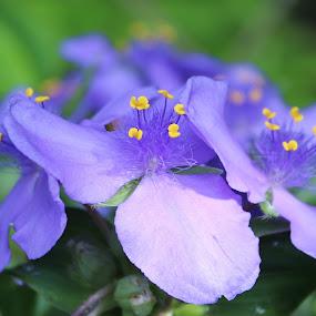 Widow Tears by Sona Decker - Flowers Flowers in the Wild (  )