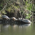 River Cooters