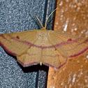 Chickweed geometer moth (male)