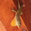 Dominican Anole
