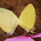 Venusta Grass Yellow  (Mating)
