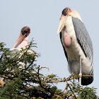 Maribou stork