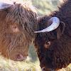 Highland Cattle/Schotse Hooglander
