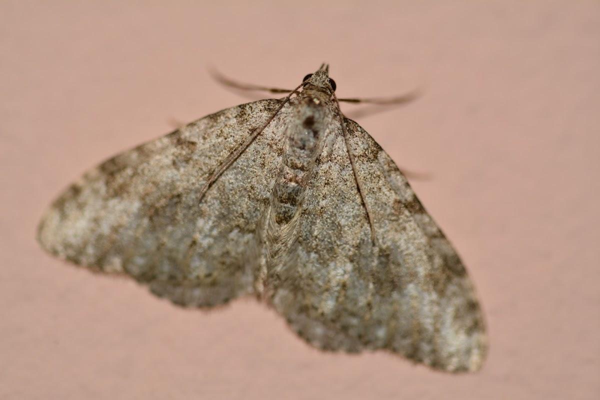 Larentiinae-Geometridae family