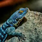 San Lucan Rock Lizard