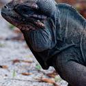 Mona Island Iguana