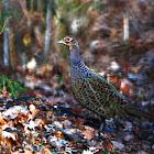 Common Pheasant female - Bažant obecný