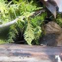 Oregon eurhynchium moss