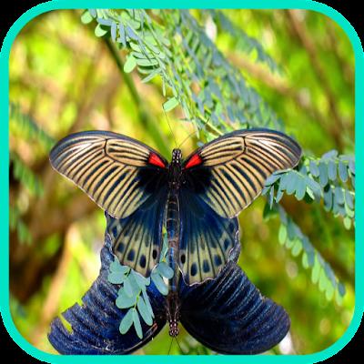 Butterflief обои