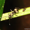 Red eyed fly & a metallic ant