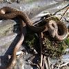Schlingnatter (smooth snake)
