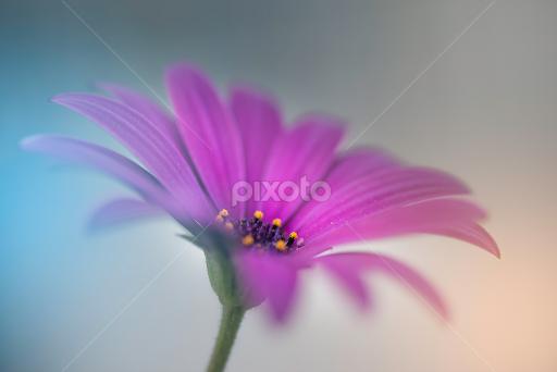 Purple daisy single flower flowers pixoto purple daisy by helena mim flowers single flower nature soft focus purple mightylinksfo