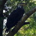 Bald Eagle, fourth year