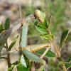 Iris mantis