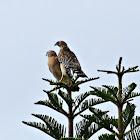 Red-shouldered Hawk (pair)