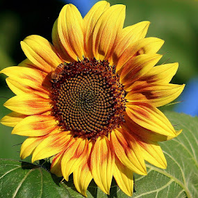Sunflower by Sherri Woodbridge - Flowers Single Flower ( sunflower, yellow,  )