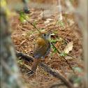 Russet Nightingale Trush