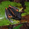 Fort Randolph robber frog