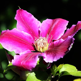 Untitled by Amanda Dacey - Flowers Single Flower ( colour, clematis, vivid, garden, flower )