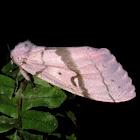 Luna Gypsy Moth