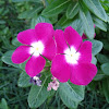 Rose Periwinkle