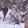 White-tailed deer (Buck)