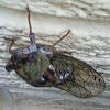 Harvest fly (cicada)