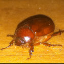 Summer chafer beetle