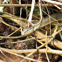 Legless lizard,glass lizard (Anguis fragilis)
