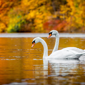Swans by Jim DeMicco - Animals Birds ( swans, autumn, fall, lake, birds )