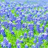 Blue Bonnet (Texas)