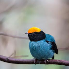 Blue Manakin by Eva Lechner - Animals Birds ( bird, blue manakin, chiroxiphia caudata, swallow-tailed manakin, close-up,  )
